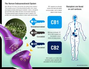 human-endocannabinoid-system